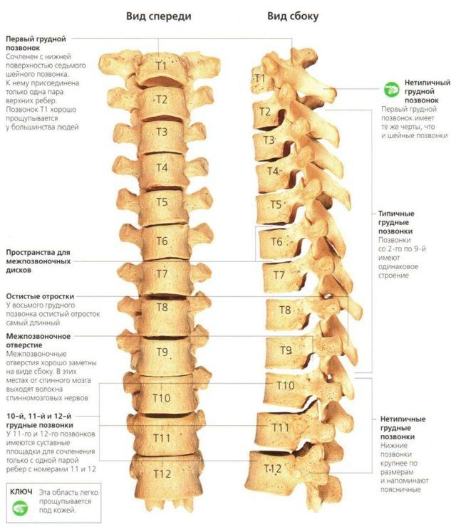 Сколько позвонков в позвоночнике у человека: точное количество, отделы и строение позвоночного столба