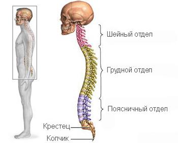 Сегменты спинного мозга: таблица их функций, количество отделов и строение