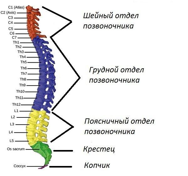 Позвоночник у человека: строение позвоночного столба, за что отвечает каждый позвонок