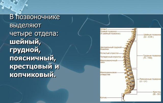 Поясничный позвонок: строение поясничного отдела позвоночника у человека, особенности и функции сплетения