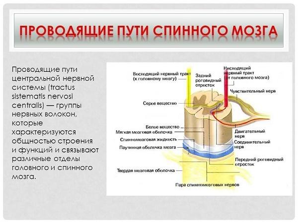 Проводящие пути спинного и головного мозга: строение, в чем заключается функция, таблица трактов