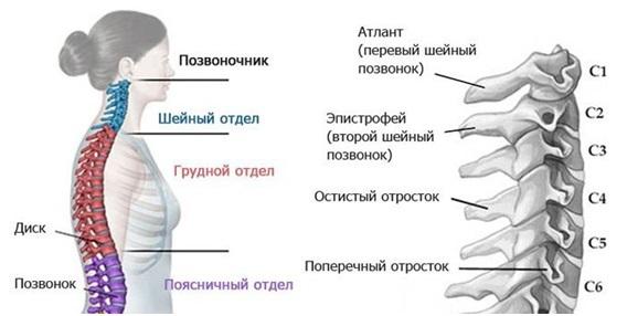 Первый шейный позвонок: строение 1 позвонка у человека, что это такое, функции
