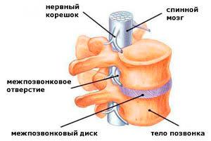 Грудной отдел позвоночника: анатомия, особенности строения, сколько позвонков у человека