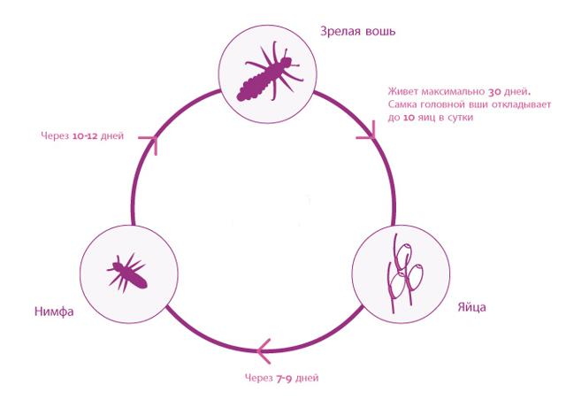 Вши головные: жизненный цикл развития вшей и гнид, стадии роста волосяных паразитов