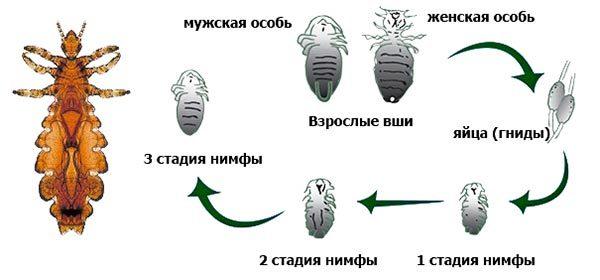 Сколько живут вши вне головы человека: могут ли гниды жить в подушках, сколько дней обходятся без людей